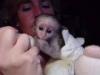 Erkek ve dişi capuchin bebek maymunlar