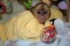 Ev yetiştirilen evcil hayvan capuchin maymun