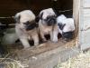 Evinizin neşe kaynağı olacak olan pug mops yavruları