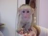 Evlat edinme için capuchin maymunları