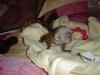 Evlat edinme için oynak capuchin maymunları..