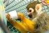 Evlat edinme için sevimli kadın bebek örümcek maymun. !!!!!!