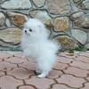 Evlat edinmek için bebek pomeranian köpek yavrusu