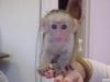 Evlat edinmek için güzel erkek ve dişi capuchin maymunları