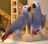 Evlat edinmek için olağanüstü afrika gri papağanı