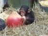 Evlat edinmek için olağanüstü bebek şempanze maymunu   evlat