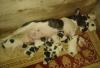 Fransız   buldog   cok tatlı yavruları