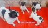 French bulldog yavru köpekler