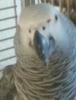 Giri  jaco papaganim kayboldu