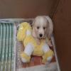 golden yavru erkek