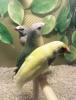 Gouldian finch 3 dişi 2 erkek