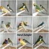 Gouldian finch - gökkuşağı ispinozu - goldi