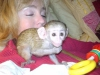 Güzel erkek ve kadın capuchin bebek maymunlar çifti