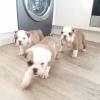 Güzel ingilizce bulldog yavruları mevcut