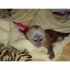 Güzel itaatkar capuchin maymunlar921