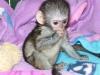 Güzel maymunlar capuchın aşk öpücük ve parça veren