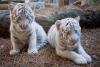 Güzel ve, beyaz kaplan yavruları, çita yavruları, satılık af