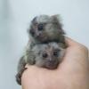 Güzel ve iyi eğitimli marmoset maymunları.