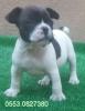 Harika fransız bulldog yavrularımız