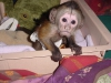Hediye olarak capuchin maymunu fr7