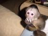 Hediye vum olarak capuchin maymunurshb