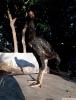 Hint horozları ve tavukları satılıktır süper araplar