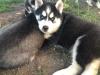 Husky köpek yavrusu evlat edinme için hazır