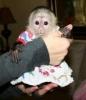 İki harika capuchin bebek maymun.