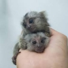 İki safkan marmoset maymunu mevcut.