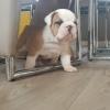 İngilizce bulldog yavruları satılık