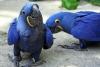 İyi eğitimli çift sümbül amerika papağanı papağan