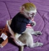 İyi evler için sevimli ve sevimli capuchin maymunları