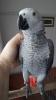 Jako evcil konuşan papağan