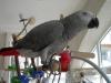 Jako papağan 4 yaş gri afrika papağan