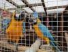 Kadın mavi ve altın amerika papağanı