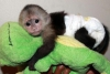 Kadın veteriner capuchin maymunlar kontrol