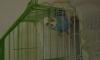 Kafesiyle birlikte yavru mavi muhabbet kuşu