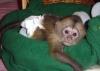 Kapucínská opice k dispozici pro milující domy