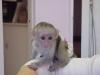 Kapucínská opice na prodej.