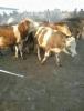 Karsta satlık simental hayvanlar