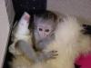 Kayitli saglikli capuchin maymunlar678