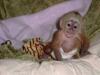Kayıtlı sağlıklı capuchin maymunlar917