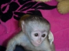 Kayıtlı tuvalet, bebek bezi ve kordon eğitimli capuchin maym