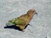 Kea papağanı satılık