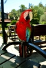 Kırmızı macaw (ara) papağanı