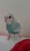 Satılık konuşan muhabet kuşu