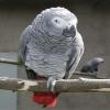 Konuşan jako papağanı