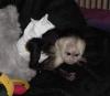 Krásné kapucínské opice pro dobrý domov a krásný domov