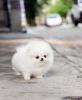 Krem beyaz pomeranian yavruları mevcut