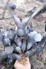 Kumesi  ile satılık 50 adet güvercin